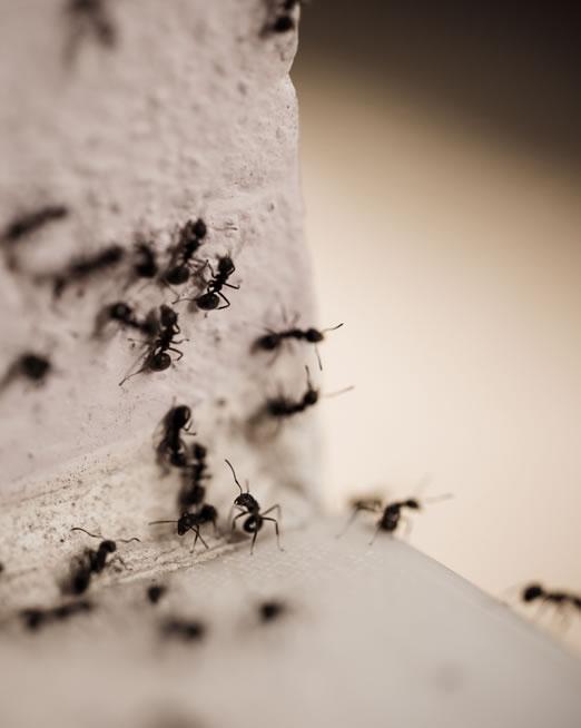 control de plagas de hormigas - Plagas MAtaró
