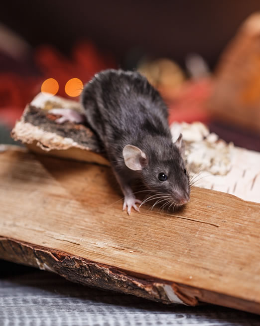 Control de plagas de ratas - Mataró