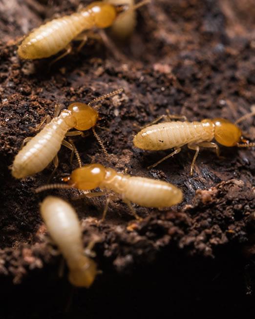 Control de plagas de termitas en mataró y maresme - Iluroplagas.es